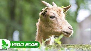 Chăn nuôi dê | Cách chăm sóc để dê ăn nhiều, béo tốt