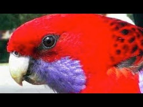 Exotic Birds – Crimson Rosella Eating