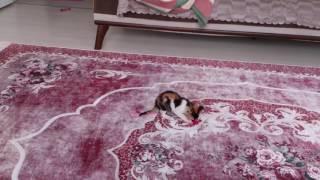 yavru kedimiz pati ip ile oyun oynuyor