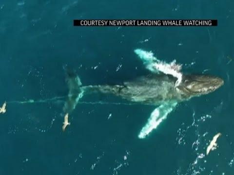 Redders bevrijden verstrikte walvis