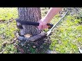 Tree Girdling Root Gently Removed