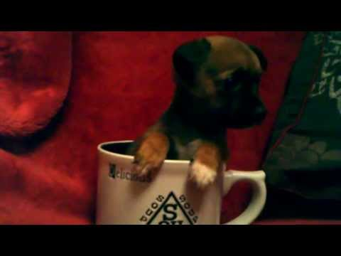 "Our Toy Yorkie Micro Tea Cup Chihuahua "" I don't want to be soup!"" , ""yikes!!!!"""