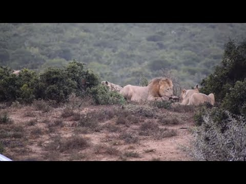 Hyena Clans Trying To Steal Lion's Food