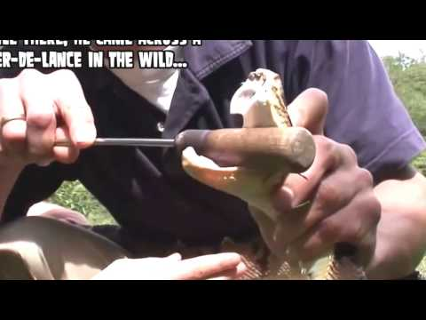 Video Ultimate Pit Viper Bite; Bear Grylls' Producer Deadly Snake Bite YouTube download in MP3, 3GP, MP4, WEBM, AVI, FLV January 2017