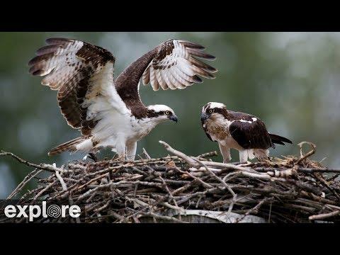 Live-Cam: Vögel -   Osprey / Fischadler - Nest (Charl ...