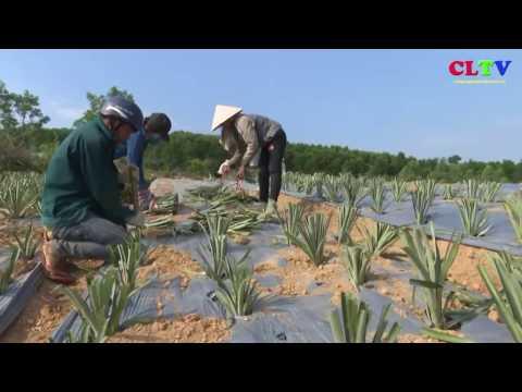 Giúp nhân dân Bản Chùa trồng dứa nguyên liệu