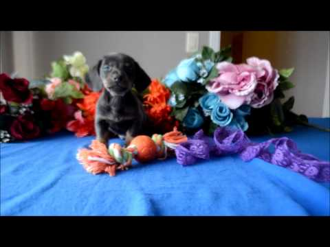 Tanner AKC Blue Tan Male Miniature Dachshund Puppy for sale