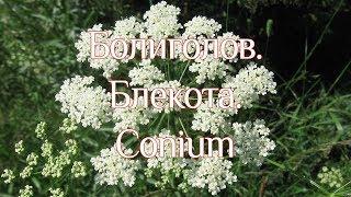 Рослина Болиголов
