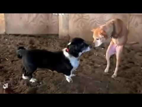 Ένας ηρωικός σκύλος με δύο πόδια