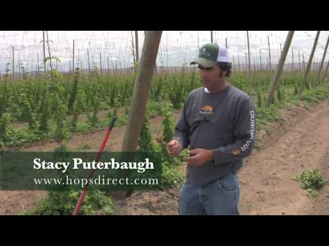 hop - Welcome to the first episode of Hops TV. Stacy Puterbaugh from www.hopsdirect.com will teach you how to plant Hop Rhizomes, and give you basic care instructi...