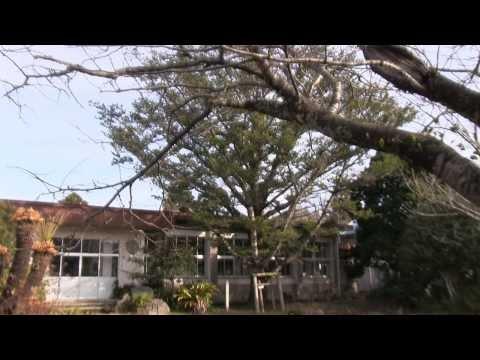 種子島の名所・観光スポット:鴻峰小学校のヤクタネゴヨウ西之表市の名木・古木に指定
