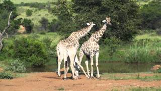 Giraffes and Zebras - Pilanesberg National Park