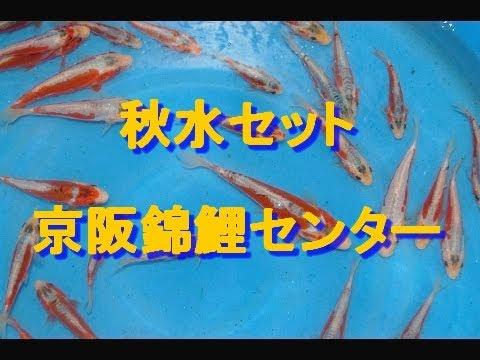 秋水 平成27年度産 池揚げ -Keihan Koi Farm-