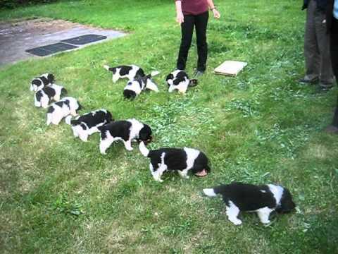Newfoundland puppies feeding frenzy - 5 weeks