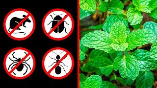 Video If You Get This Plant at Home, You'll Never See Mice, Spiders, or Ants Again MP3, 3GP, MP4, WEBM, AVI, FLV Agustus 2018
