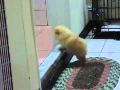 Chú chó chân ngắn