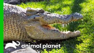 Learn More About The Important Task Of Crocodile Conservation (Compilation) by Animal Planet