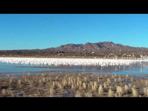 Valtava hanhiparvi nousee siivilleen järvestä – Melu on kova!