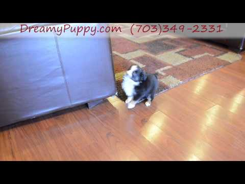 Adorable Miniature Aussie Boy Puppy #2