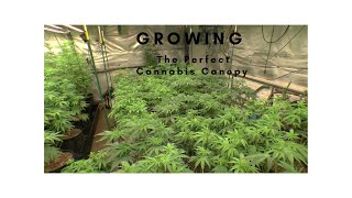 Growing The Perfect Cannabis Canopy by John Berfelo