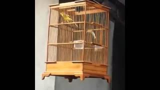 Suara burung kenari isian Video