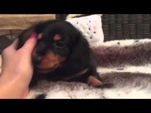 Spunky, black & Tan Mini Dachshund puppy