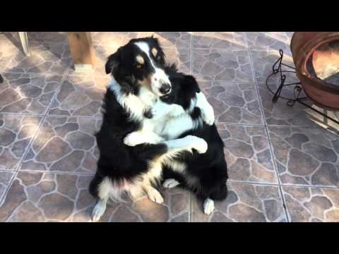 Border Collies HUG IT OUT
