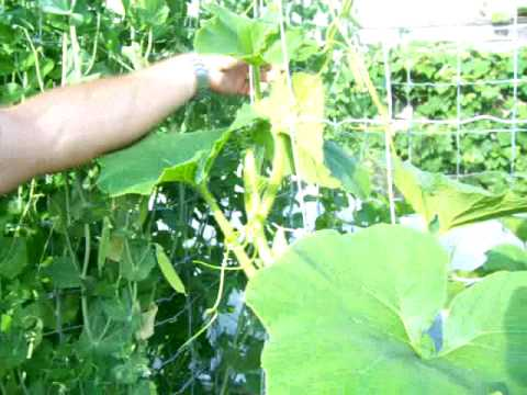 How to grow a verticle upright squash plant and other vines in a small garden space