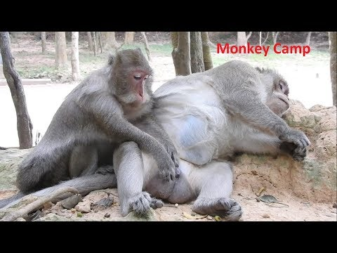 Very Nice Couple, Monkey Massage, Real Monkey Life In Angkor, Monkey Camp Part 1337