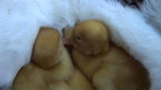 Mamãe Gata Alimentando Patinhos. Boa Mãe!