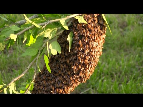 How To Start Your Own Beehive: Start With A Swarm!
