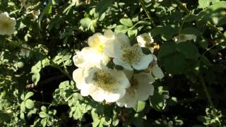 #960 Die Englische Ramblerrose Rosa Soulieana