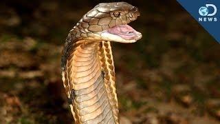 How Snakes Got Their Venom