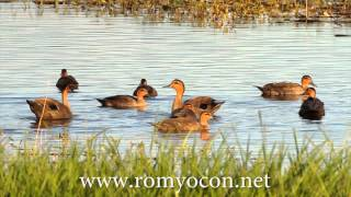 Candaba Philippines  city pictures gallery : Philippine Ducks at Candaba Wetlands
