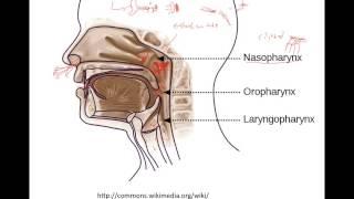 Pharynx&Larynx