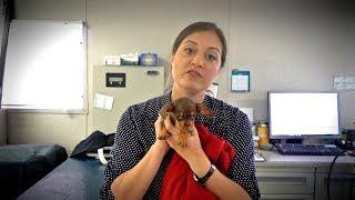Tiny Puppy, Big Hernia by Vet Ranch