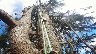 Video Big Old Growth Himalayan Cedar Tree Dismantle - Piece by piece they drop - Two day climb MP3, 3GP, MP4, WEBM, AVI, FLV September 2019
