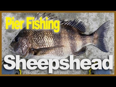 Catching Sheepsheads at Okaloosa Fishing Pier – Mar 2014