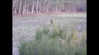Chasse Cerf Daguet Février 2014 / Hunting Red Deer February 2014