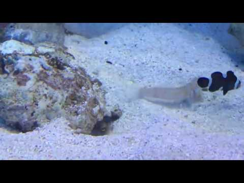 Diamond Goby is a Jerk