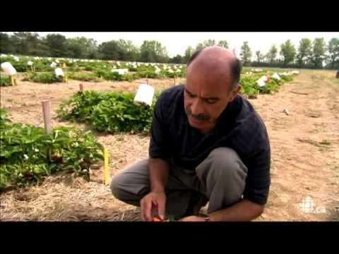 L'�picerie - Les fraises du Qu�bec