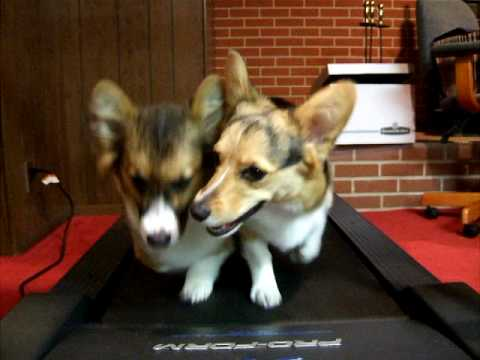 「[イヌ]ルームランナーで仲良く並走するコーギー2匹がカワイイ。」のイメージ