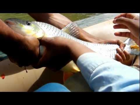 Pescaria de piau de 5 kg no rio paracatu