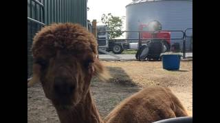 Alpaca farm keeping cool!