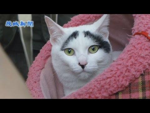 【茨城県】幸せを呼ぶと話題!困り顔の猫ハチちゃん