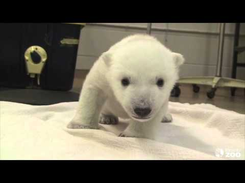 steps - Born on November 9th 2013, our adorable cub is currently residing in the Wildlife Health Centre. During his stay, our newest polar bear family member will be...