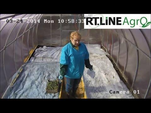 Как выращивать рассаду капусты. Перемещение сеянцев капусты в теплицу