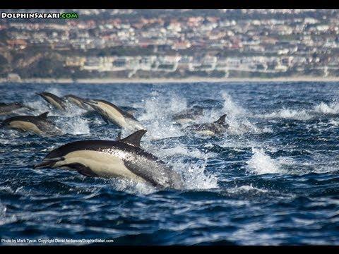 Delfino in branco