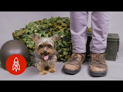 Meet the Tiny Yorkie War Hero