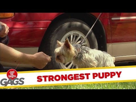 Strongest puppy in the WORLD - Youtube